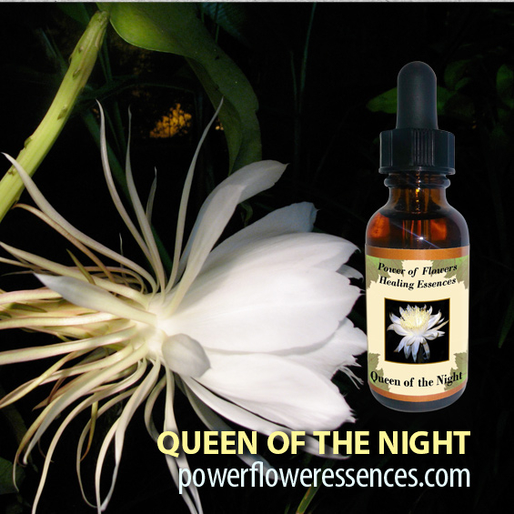 Queen of the Night Flower Essence -assists women during the changing cycles of life, helping us to age gracefully.