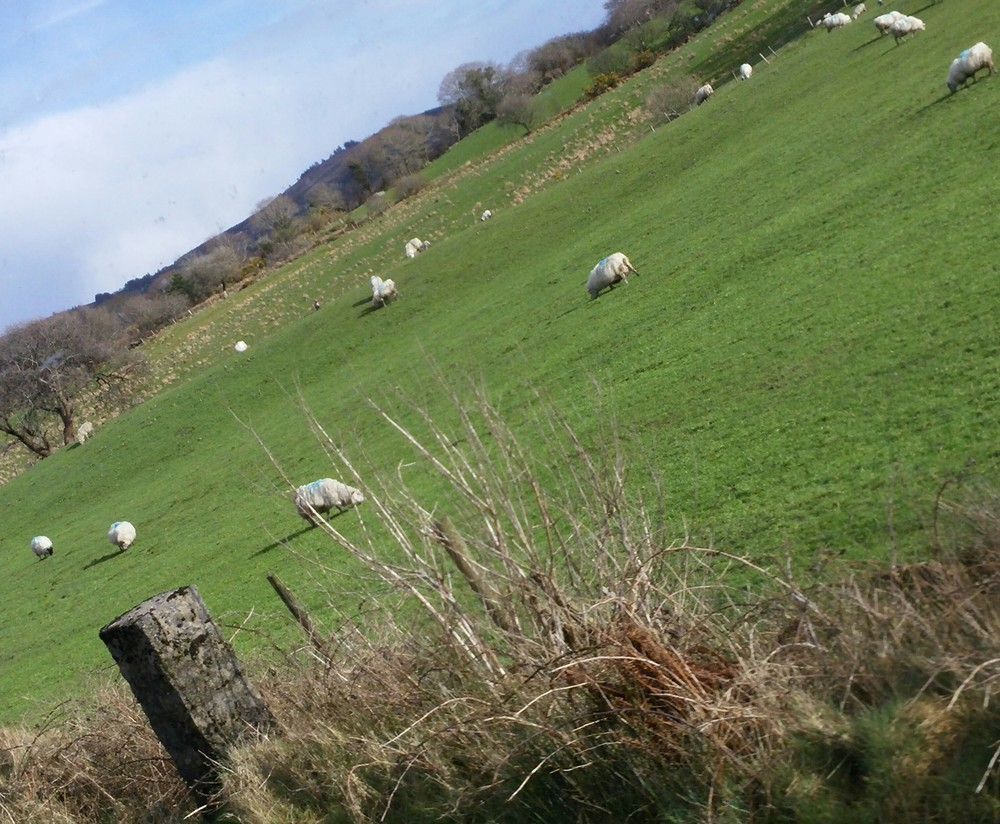 I truly believe there are more sheep than people in the UK.