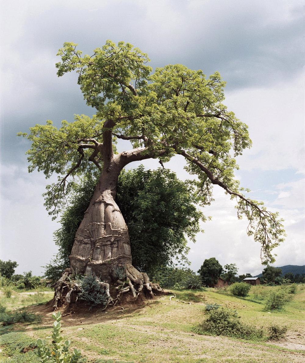 Baobab / Malawi