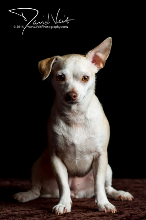 Gidget of Chihuahua Rescue of San Diego