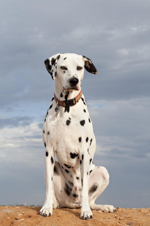 Dalmatian with Sky