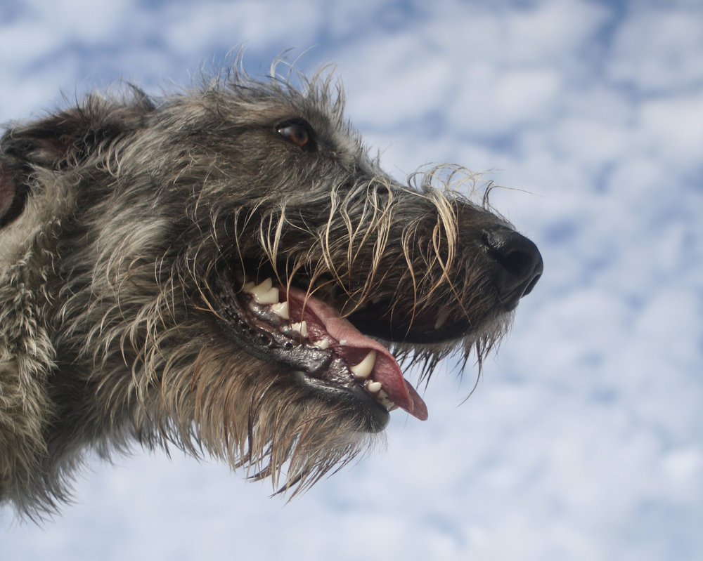 Wolfhounds in the Sky