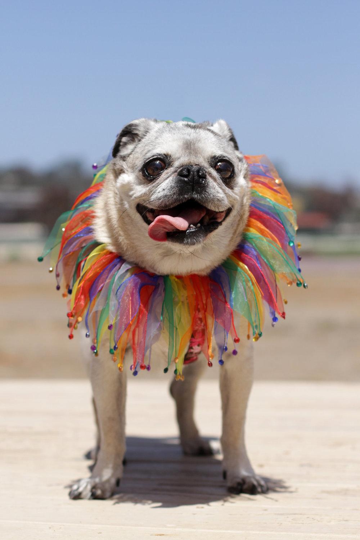 Pug Jester