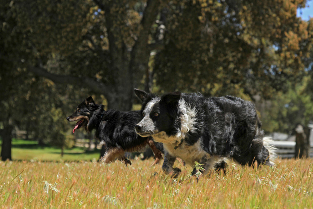 Herding Dogs at Work