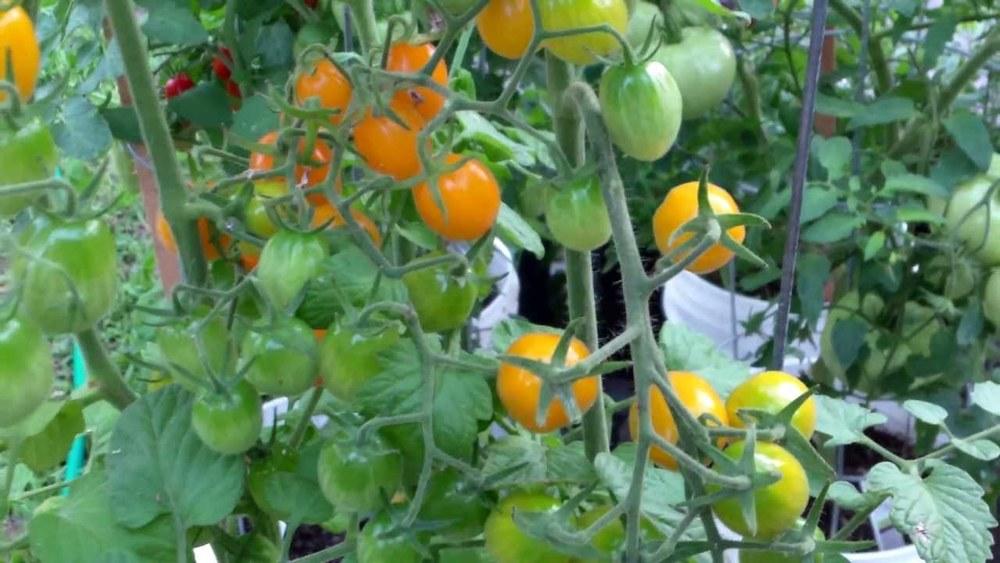 Tomato 'Golden Honey Bunch'