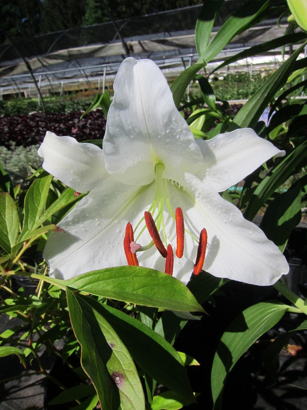 Lilium orientalis 'Casa Blanca'