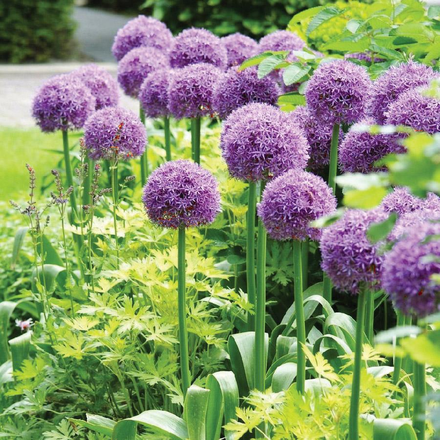 Perennial of the year Allium 'millenium'