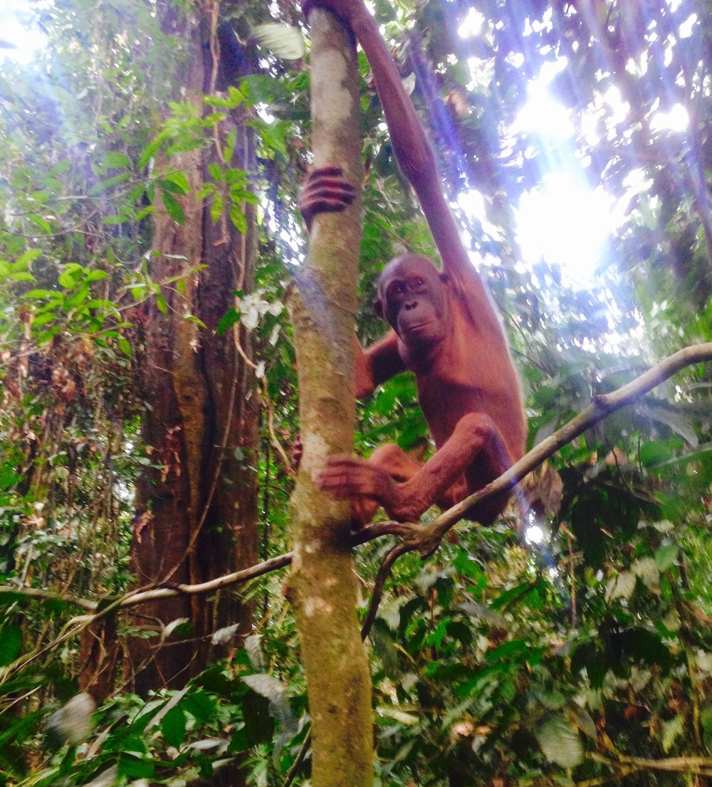 """Orangutan means """"human of the trees"""". Saw this hair-less one being fabulous while walking the Sepilok boardwalk."""