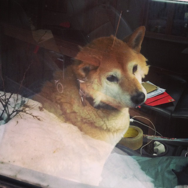 When you're finally old enough to sit in the front seat. #shibainu #perksofolddogs