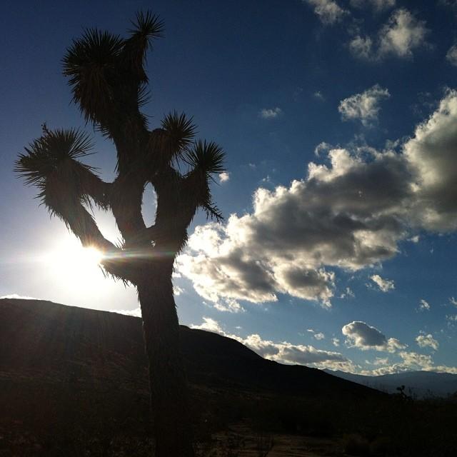 Bumblin' and stumblin' around the desert. #joshuatree #california #highdesert #tigermoon #palmdesert