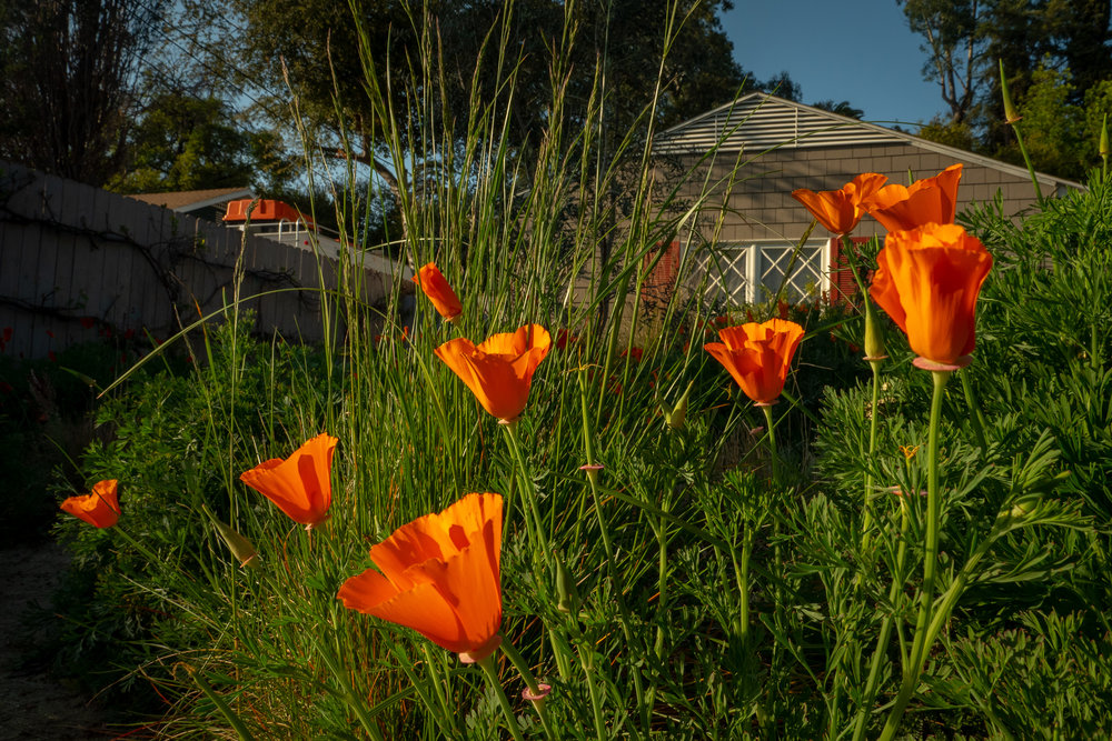 Jay and Marilee Schoenau's front yard is a California meadow garden with many California poppies to enjoy.