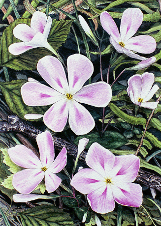 Phlox | Illustration by Paula Fong