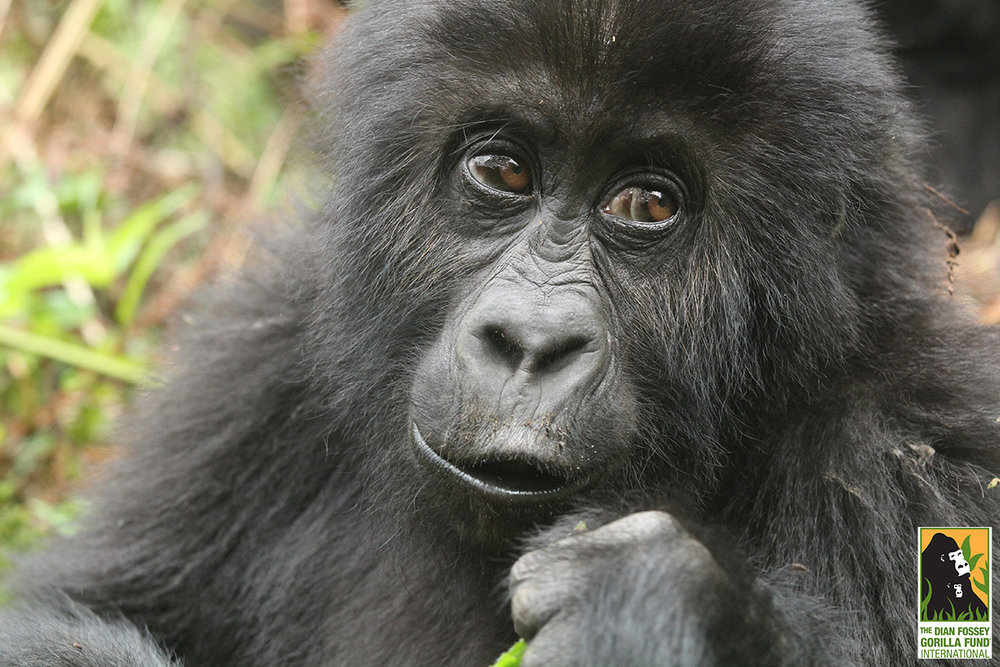 Image courtesy of the Dian Fossey Gorilla Fund International