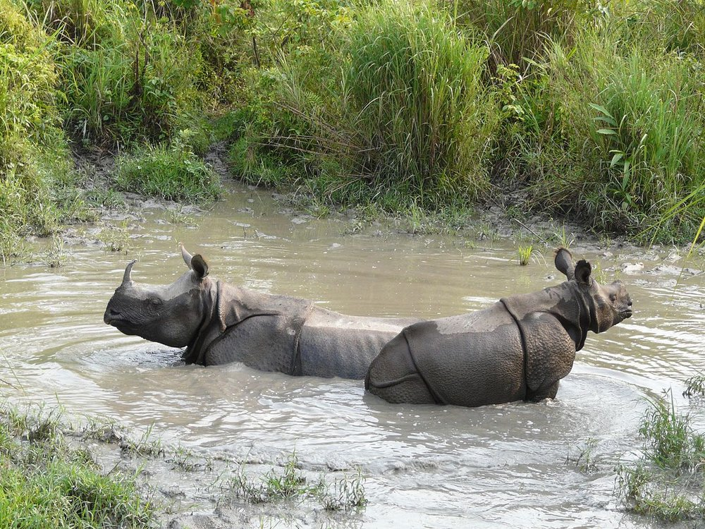 Rhinos wading in India. Image by A. J. T. Johnsingh, WWF-India and NCF via Wikimedia Commons