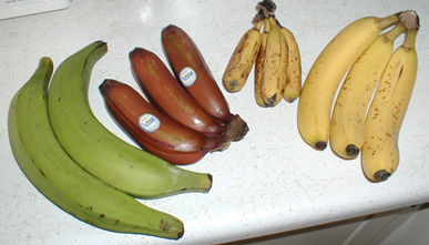 From left to right: plantains, red bananas, Latundan bananas, and Cavendish bananas. Image by TimothyPilgrim via Wikimedia Commons