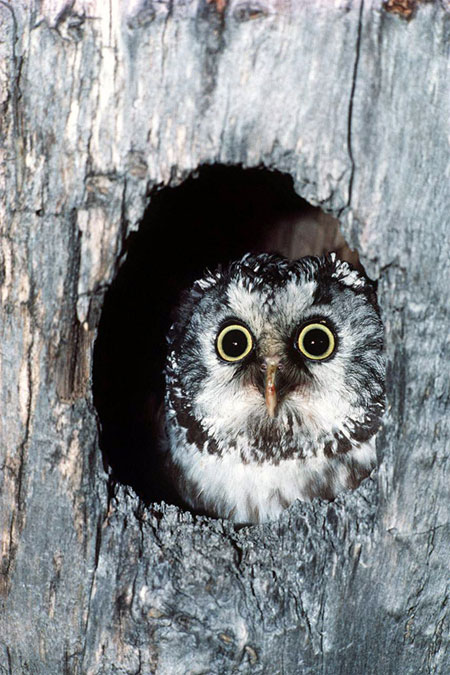 Mr. Boreal Owl, wondering where he went wrong. Image by  Sneakerstwo  via Flickr