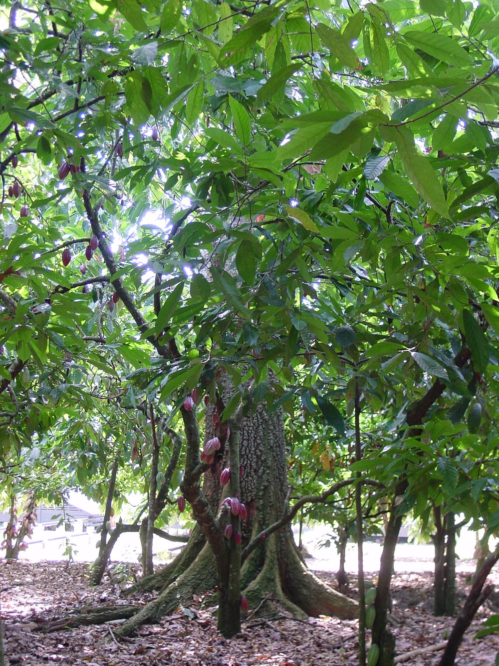 Cocoa tree growing under the shade of a larger tree. Photo courtesy the World Cocoa Foundation.