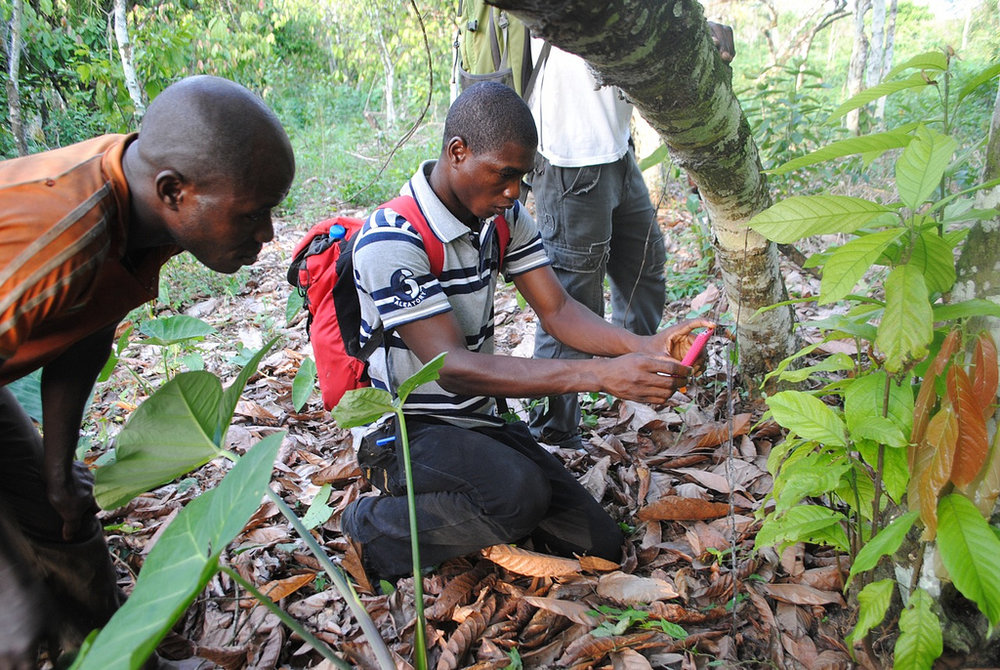 Examining a tree with swollen shoot virus. Photo via Flickr/World Agroforestry Centre