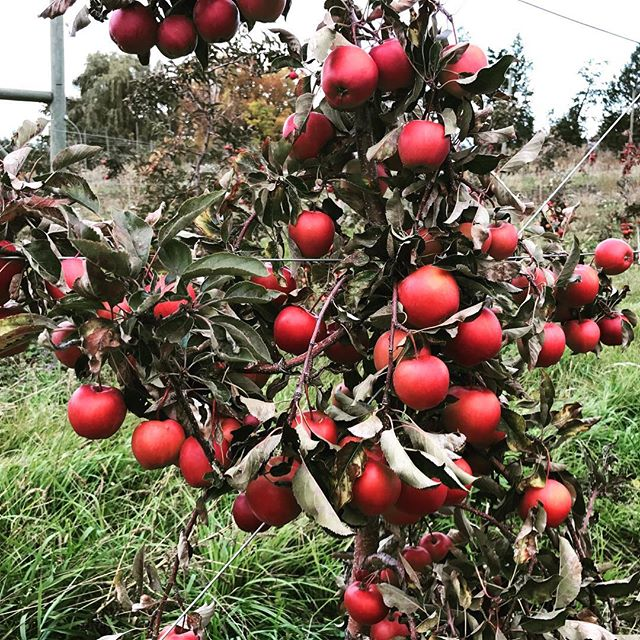 The end of apple season in the Okanagan. -- #howboutthemapples #kelowna #ylw #iphoneography #iphone7photography #agriculture #orchard #apples #okanagan