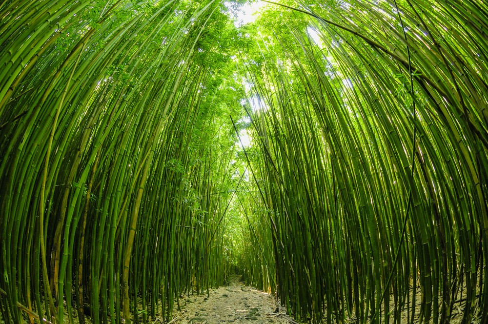 bamboo-forest-near-upcountry-massage-maui.jpg