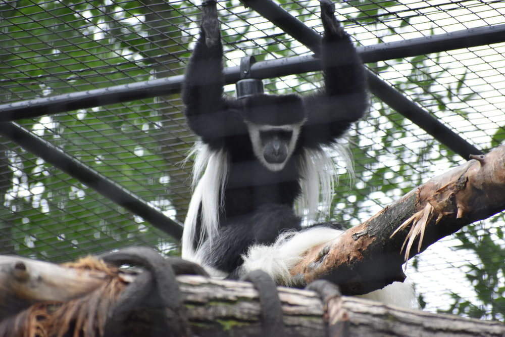 monkey at the Fort Wayne Children's Zoo