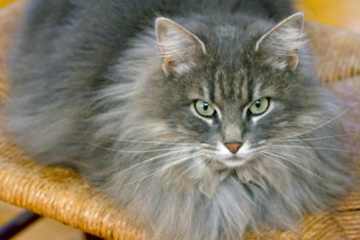 Some cat breeds have long fur ©Getty Images