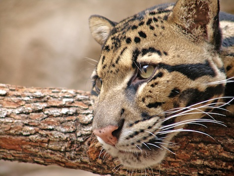 A clouded leopard's skull is a different shape from that of other cats