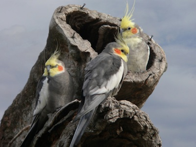 Wild cockatiels ©Getty Images