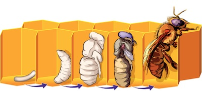Bee life cycle: egg, larva, pupa, adult. ©Getty Images