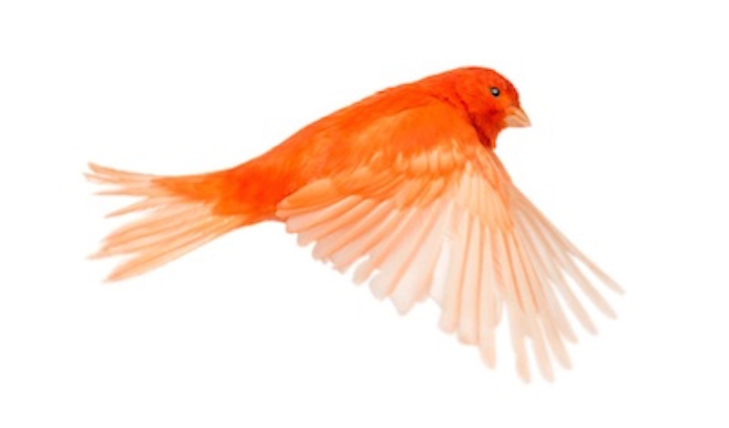Breeders have now bred birds of more colours ©iStock