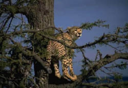 Cheetahs don't climb trees, but leap into a tree instead. ©Getty Images