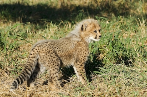 A young cheetah ©Getty Images