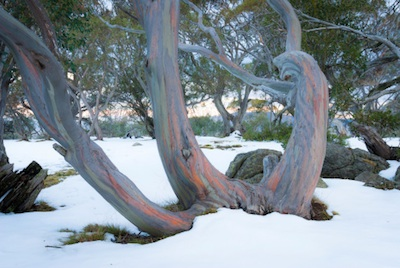 Snowgums in winter in the Australian alps ©Getty Images