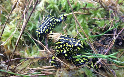 Corroboree frogs in sphagnum moss ©Getty Images