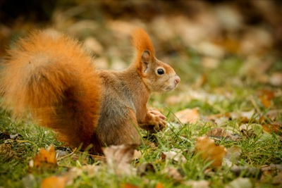 A red squirrel collecting nuts in autumn to store for winter. ©Getty
