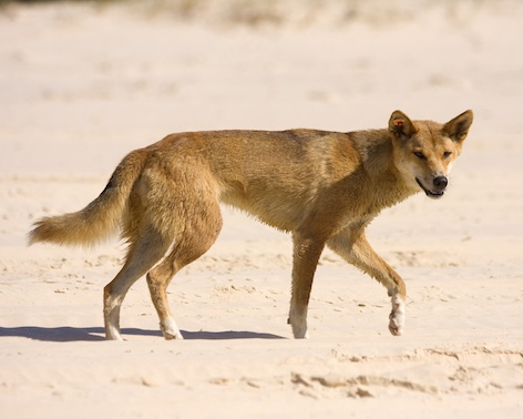 A dingo on Fraser Island. Photo © Getty Images