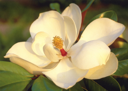 Magnolia flower ©Getty Images