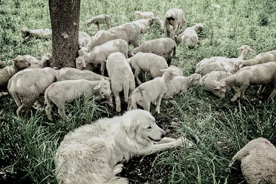 Maremma dog with sheep flock ©Getty Images