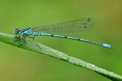 Damselfly ©Getty Images