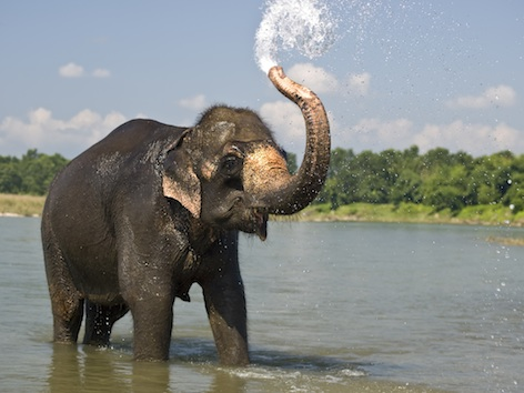 An Asian elephant enjoying a cool down in a river. ©Getty Images