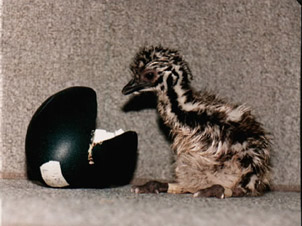 Newly hatched emu chick. ©Getty Images