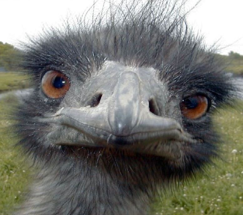 Emus have a curious nature. ©Getty Images