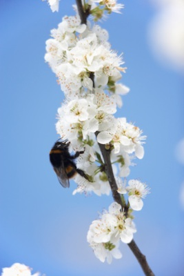 A bee on apple blossom ©Getty Images