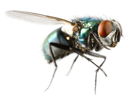 Flies have big compound eyes. ©Getty Images