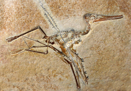 Fossils tell us about animals that lived on earth in prehistoric times. This is a pterodactylus. Getty Images