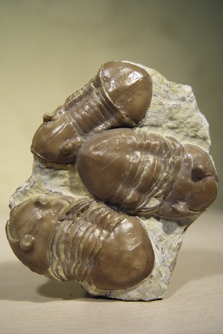Fossilised trilobites ©Getty Images