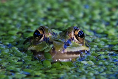 Adult frogs live on land and in water. ©Getty Images