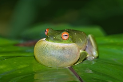 Croaking frog. ©Getty Images