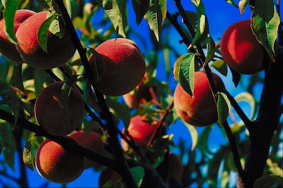 Peaches were grown in China thousands of years ago