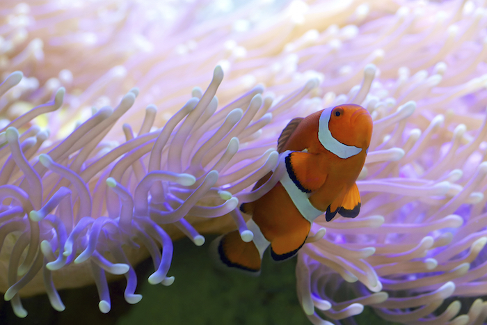 The clown fish is not affect by the stinging tentacles ©iStock